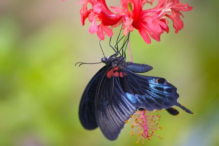 Black tropical butterfly feeding on the red flower