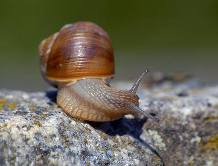 snail on top of rock looking sideway