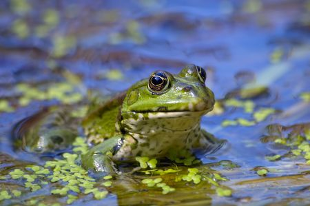 green frog resting in the shallow water