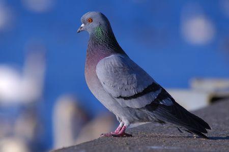 백그라운드에서 하얀 백조와 강을 응시하는 바위 비둘기 스톡 콘텐츠