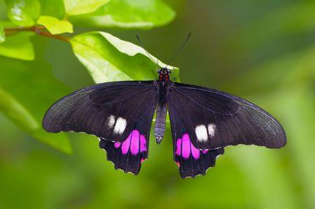검은 열 대 나비 잎에 앉아