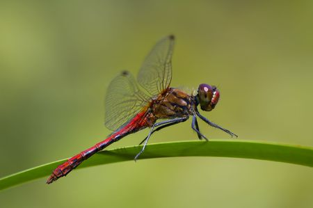 red dragonfly sitting on the leaf,  green blurry background photo