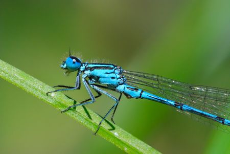 insecta: blue damselfly