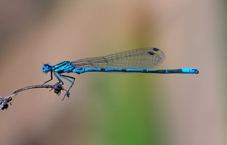 zygoptera: Blue damselfly Stock Photo