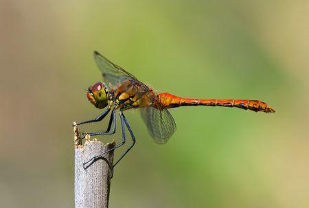 darter: Dragonfly - Ruddy Darter