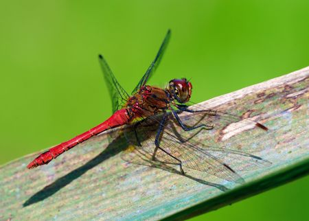 libellulidae: Red dragonfly