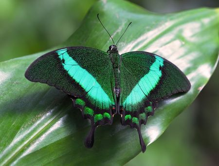 Emerald Swallowtail Stock Photo