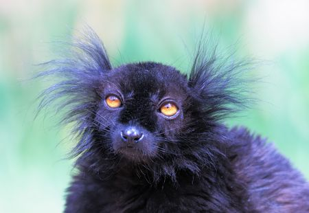 Black lemur Zdjęcie Seryjne