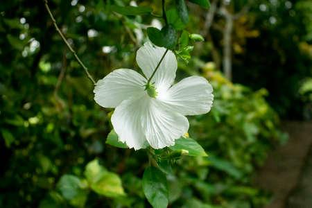 Shoeblackplant Hawaiian hibiscus rose or Shoeblackplant