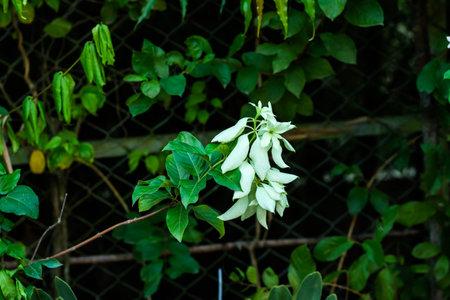White leaf or Buddha's-lamp or Mussaenda philippica top of the green leaf 免版税图像