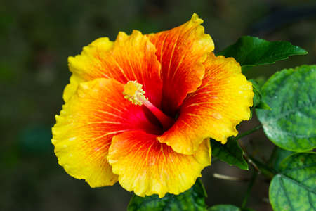 Colorful big joba flower or Hibiscus rosa-sinensis closeup 免版税图像