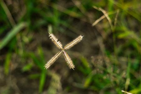 Natural Durban crowfoot little star white sign garss flower petals