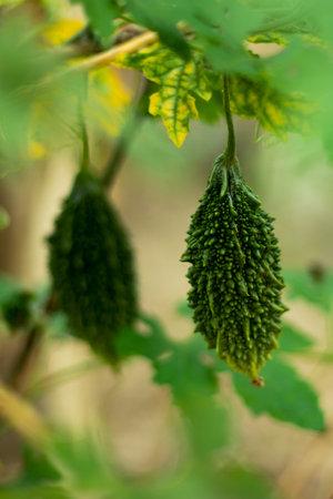 Balsam pear or green alligator pear or from Cucurbitaceae family 免版税图像