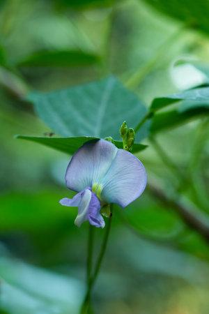Green Goa-bean or Psophocarpus tetragonolobus or Leguminosae flower