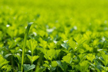 Coriander Leaf plant in a biggest field