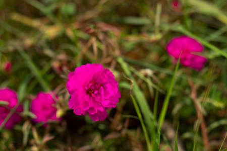 Super hot pink color grass flowers in horticulture center plant