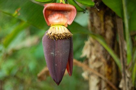 A single BANANA Blossom super closer and a vegetable 免版税图像