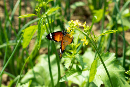 Butterfly colleting honey top of the Mustard flowers 免版税图像