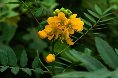 Family of Leguminosae Senna corymbosa or Argentine senna yellow flower 免版税图像