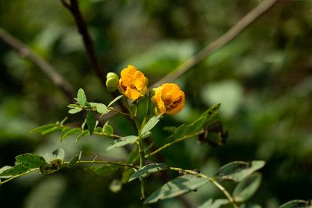 Senna corymbosa or Argentine senna yellow flower and family of Leguminosae
