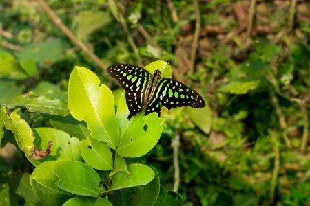 Seating Beautiful black and green butterfly Khombva or Schrebera alata from Oleaceae 免版税图像