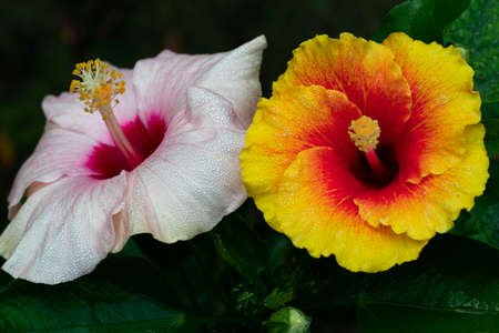 Light Pink and Red Hibiscus rosa-sinensis that also known as China rose and shoe flower 免版税图像