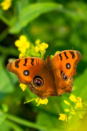 Butterfly with many colors top of the Mustard flowers 免版税图像