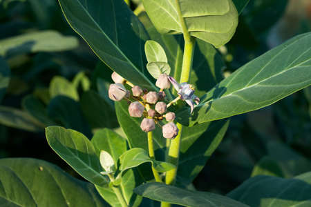 Giant milkweed or Roostertree or Calotropis gigantea wild tree