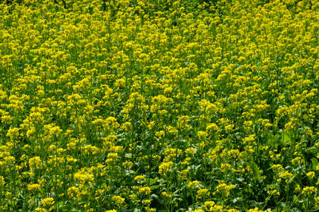 Huge yellow mustard flowers in the biggest place