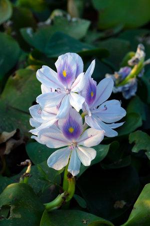 Single white musk flowers or Pontederiaceae in Water Hyacinth 免版税图像