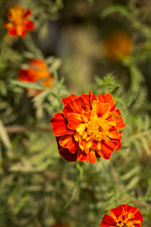 A Bunch of Blood marigold flowers in the daisy family Asteraceae 免版税图像