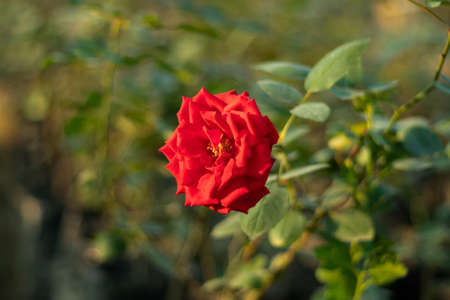 Beautiful red rose really excellent in a big garden