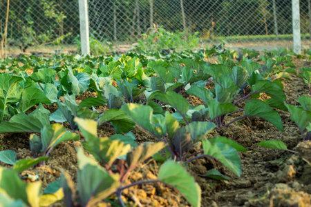 Cauliflower vegetable plants closeup shots