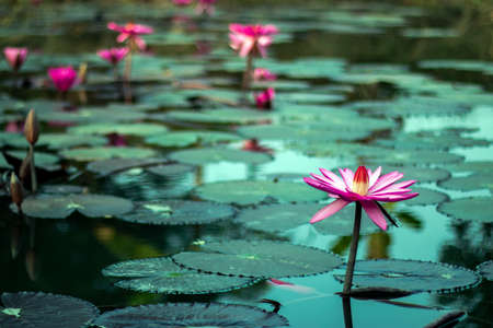 Many red water lily flower blooms in the village pond 免版税图像