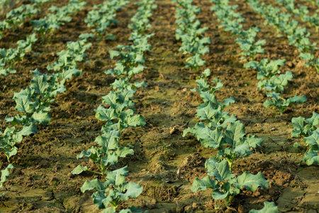 Some row of cauliflower vegetable plants