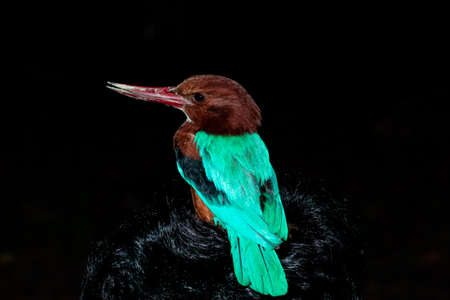 King size kingfisher hunting food at night and standing on man head