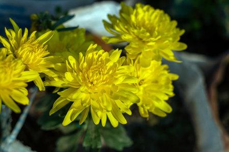 Dahlia pinnata from compositae family yellow flower petals