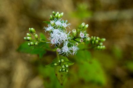 Christmasbush or Chromolaena odorata from Compositae family flower 免版税图像