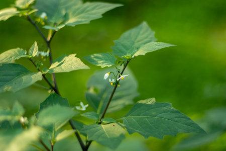 Glossy nightshade or Solanum americanum flower from Solanaceae 免版税图像