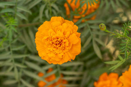 The single solid and pure yellow marigold flower