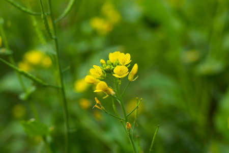 A bunch of or yellow mustard flowers