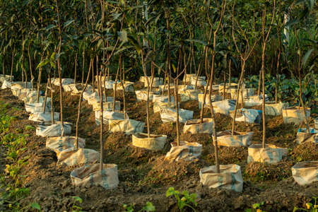 Row upon row of mango saplings have been planted in plastic bags for grafting 免版税图像