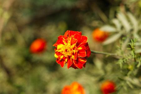 Bunch of Blood marigold flowers in village home garden