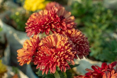 Group of nice colorful Dahlia Flower plantation 免版税图像