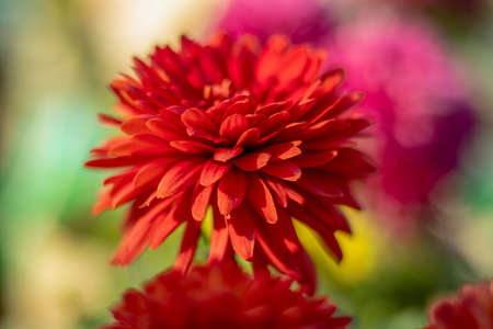 Dark red Blossom single Dahlia flower petals in home garden