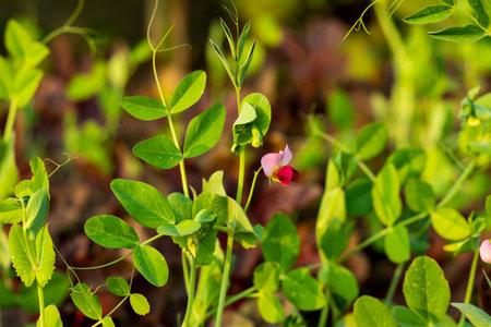Pea flower or Motor Shuti or Pisum sativum from Leguminosae Ideal vegitable 免版税图像