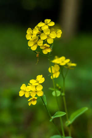 Colbaga or yellow mustard flowers that a bunch 免版税图像