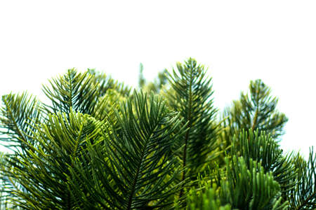 Norfolk Island-pine or Cook's pine or Jhau tree from Araucariaceae