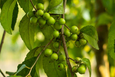 Sour fruit of European buckthorn small berry type fruit