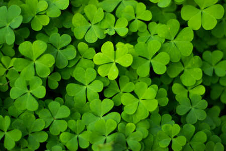 Creeping wood-sorrel or Oxalis corniculata decoration garss leaf